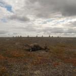 Siberi katku levikule Jamalil pandi piir
