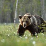 Karu murdis Komimaal maha rahvuspargi põdralehmad