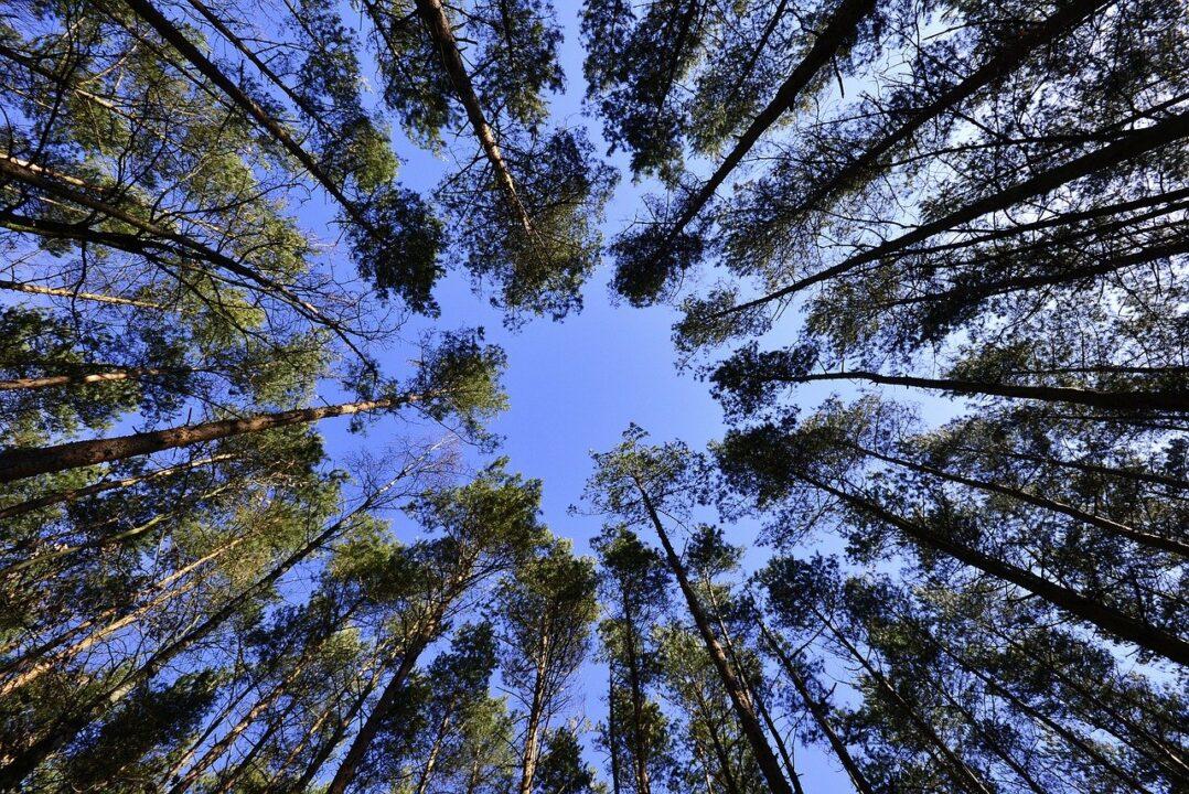 mets, kõrged puud,